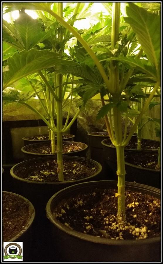 poda de ramas bajas en armario de interior de plantas de marihuana