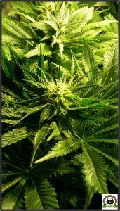 4- Star-13 Día 42 de floración en el cultivo de marihuana, esto ha cambiado 3