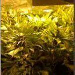 4- Star-13 Día 42 de floración en el cultivo de marihuana, esto ha cambiado