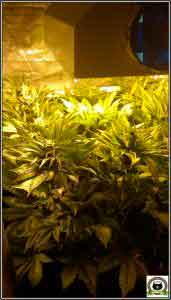 4- Star-13 Día 42 de floración en el cultivo de marihuana, esto ha cambiado 1