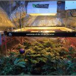 19- Termino 4º semana de floración en el cultivo de marihuana, conecto el CO2
