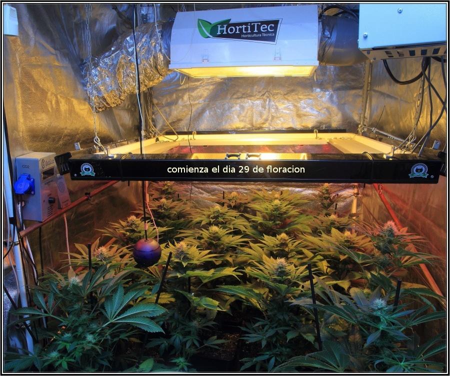 19-Termino 4º semana de floración cultivo cannabis, conecto el CO2-1