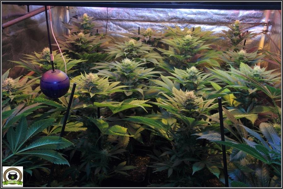 19-Termino 4º semana de floración cultivo cannabis, conecto el CO2-3