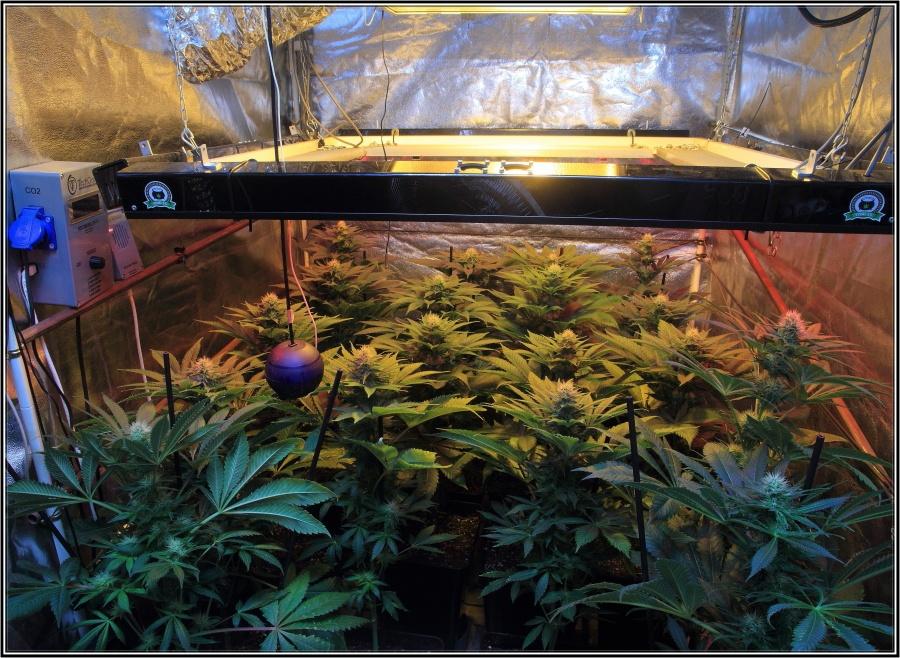 19-Termino 4º semana de floración cultivo cannabis, conecto el CO2-2