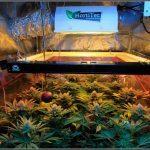 20- Termino 5º semana de floración en el cultivo de marihuana ciclo continuo