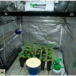 24- Trasplante a maceta definitiva variedades Somango#47 y Critical#47