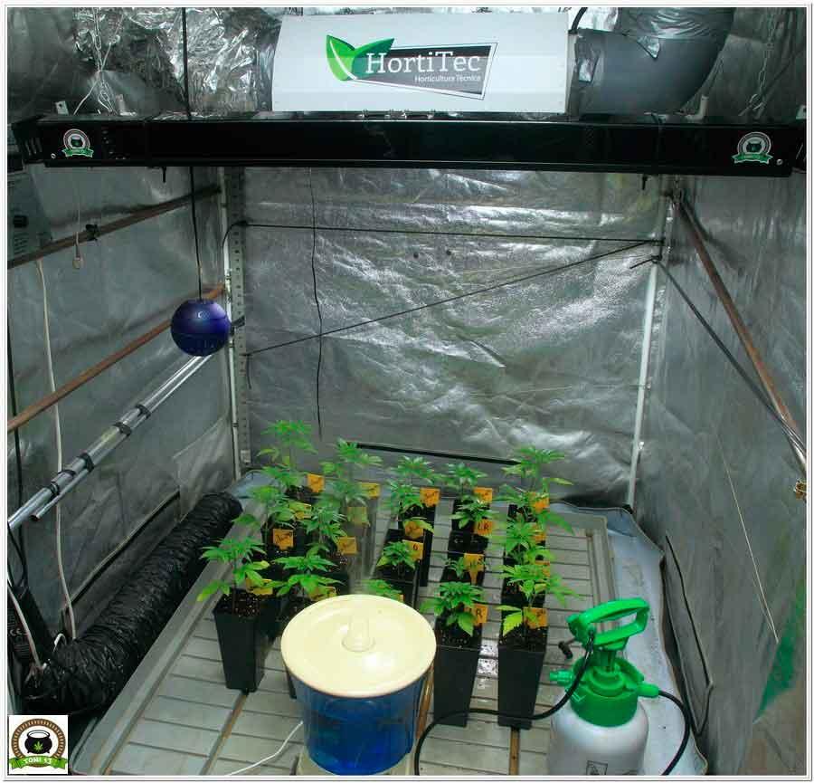 24- Trasplante a maceta definitiva variedades de marihuana Somango#47 y Critical#47 1
