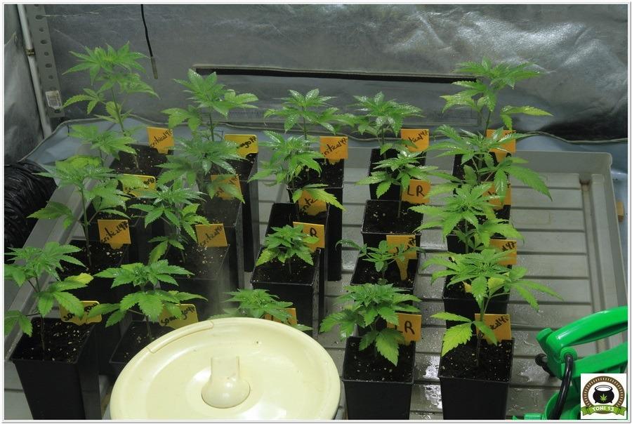 24- Trasplante a maceta definitiva variedades de marihuana Somango#47 y Critical#47 2