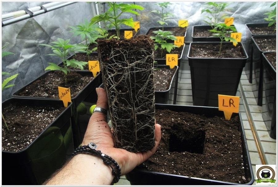 24- Trasplante a maceta definitiva variedades de marihuana Somango#47 y Critical#47 1- 3