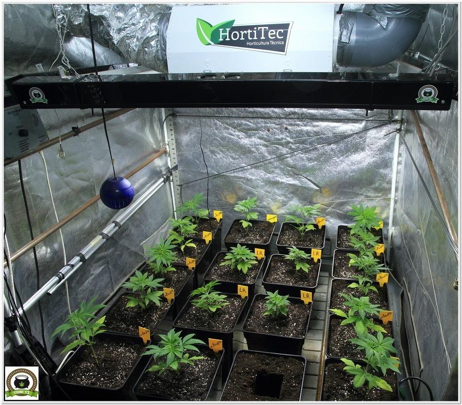 24- Trasplante a maceta definitiva variedades de marihuana Somango#47 y Critical#47 4