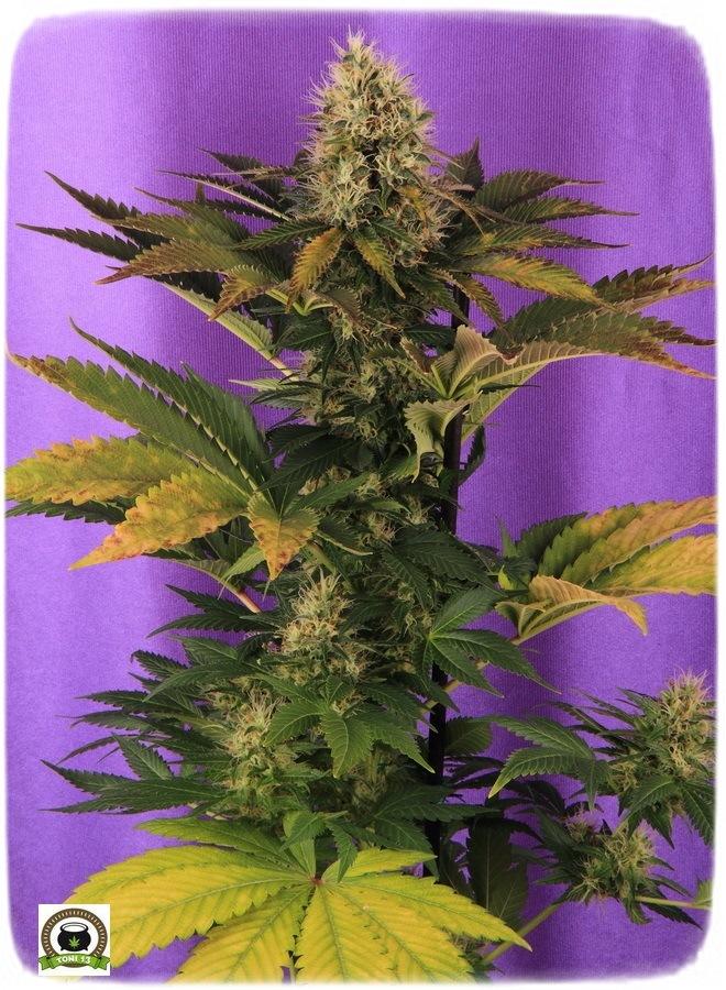 21-Termino 7º semana en el cultivo de marihuana desde el cambio a 12/12-3