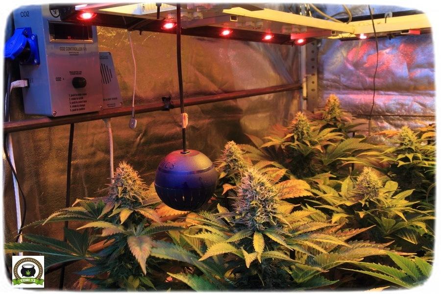 21-Termino 7º semana en el cultivo de marihuana desde el cambio a 12/12-2