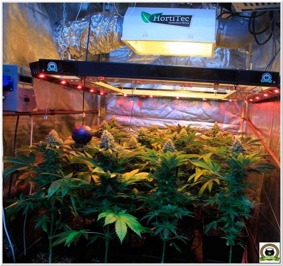 21-Termino 7º semana en el cultivo de marihuana desde el cambio a 12/12-1