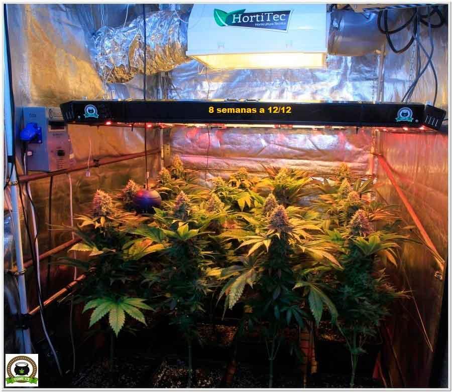 22-Termino 8º semana floración cultivo marihuana desde el cambio a 12/12-1