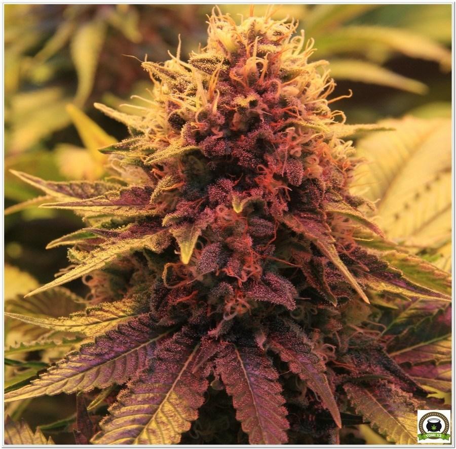 cogollo de planta de marihuana cultivada en armario de interior 1