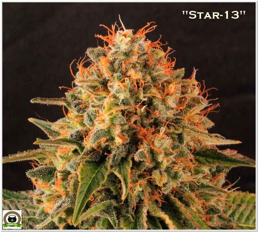 cogollo de marihuana perfecto de semillas feminizadas