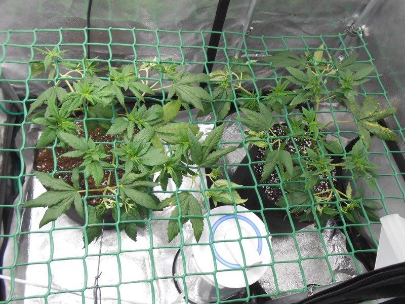 4- Podas y seguimos con la marcha del cultivo de marihuana Mini SCROG 1