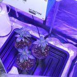 3- Día 40 de crecimiento del cultivo de marihuana Mini SCROG LED OSRAM