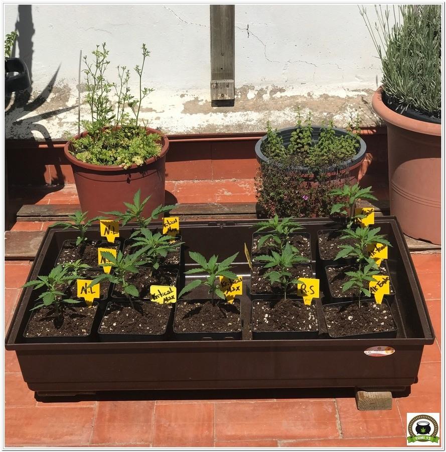 Comenzamos cultivo exterior 2017-2