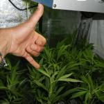 9- Seguimiento de marihuana mini SCROG en suspensión