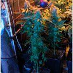 Luz residual – Estudio de si afecta a cultivos de marihuana de interior