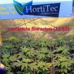 Cuándo y cómo pasar a floración las plantas de marihuana: De 18/6 a 12/12