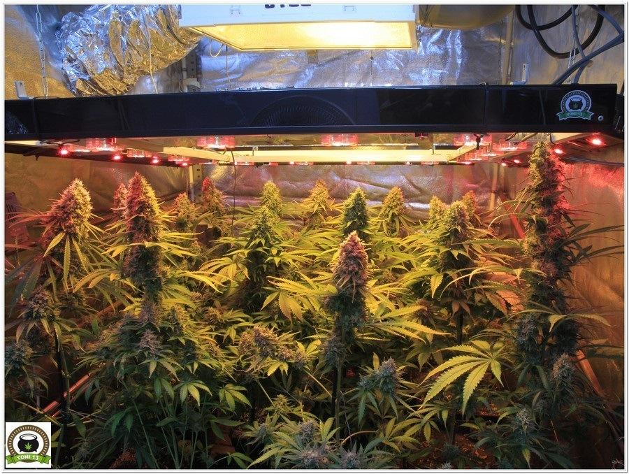 cultivo de marihuana en armario de interior con semillas de positronics