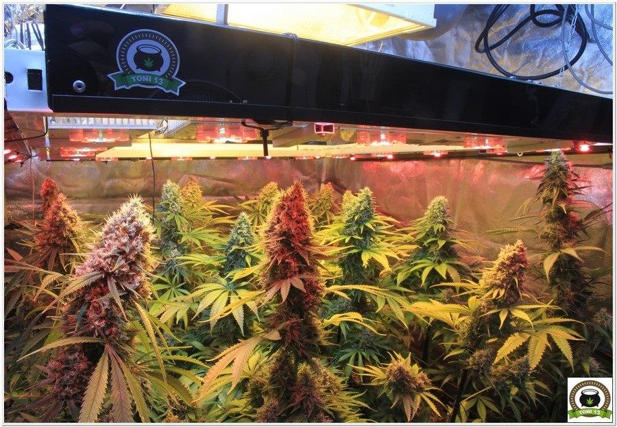 cultivo de marihuana en armario de interior con semillas de positronics 3
