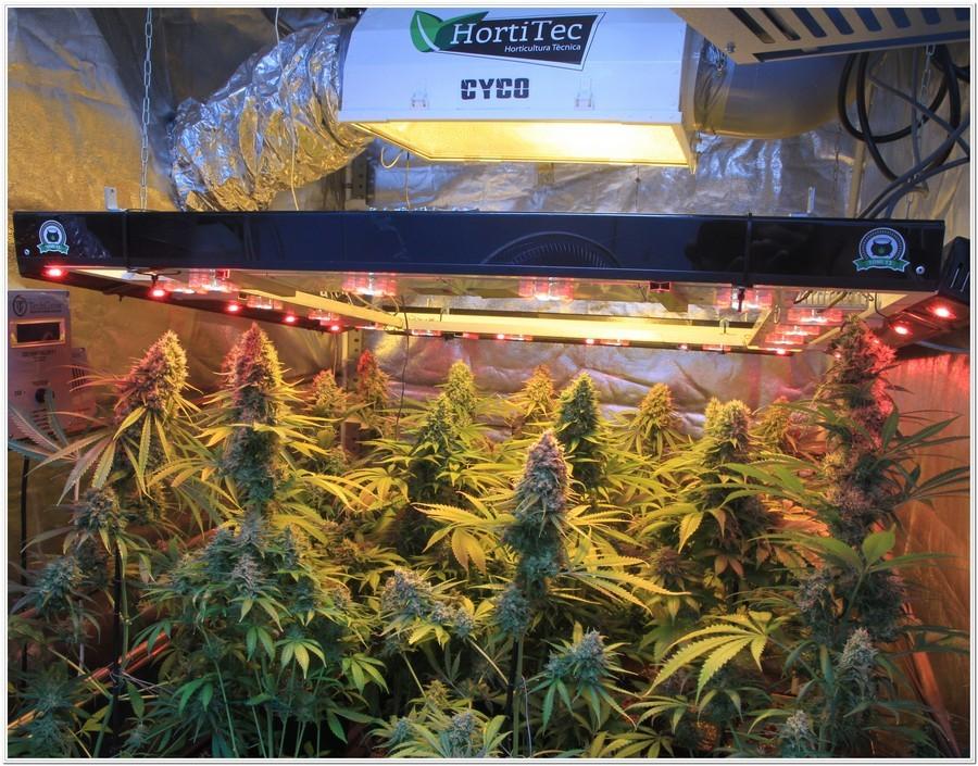cultivo de marihuana en armario de interior con semillas de positronics 5