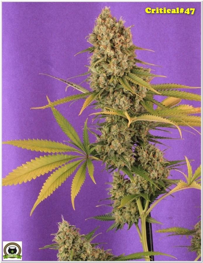 Positronics semilla de marihuana Critical 47