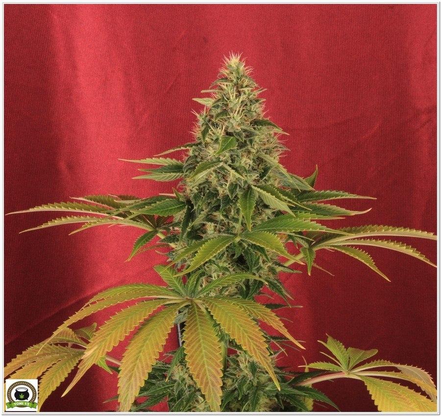 punta de Somango47 a la venta por Hortitec del banco de semillas de marihuana Positronics