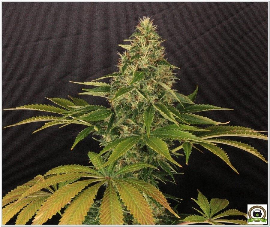 Somango47 variedad de marihuana