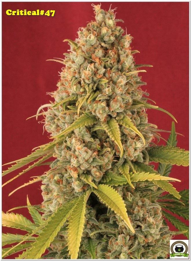 Variedad de marihuana Critical 47 del banco de semillas Positronics