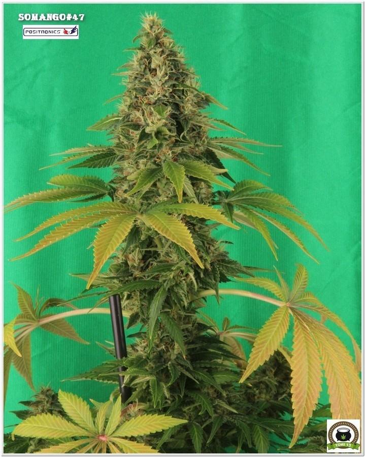 Punta de variedad de marihuana Somango47 Banco Positronics Hortitec