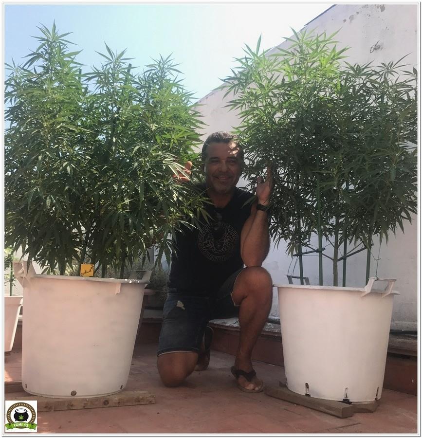 cultivo de exterior de marihuana en terraza con Toni13
