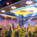 Cómo calcular la potencia lumínica en un cultivo interior de marihuana