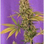 28- Fotos finales del seguimiento de marihuana con luz de estudio