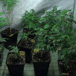 Cómo seleccionar y conservar las plantas madre de marihuana