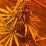 27- Somango#47 y critical#47 de Positronics: final del cultivo de marihuana
