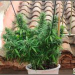 Guía autocultivo marihuana exterior