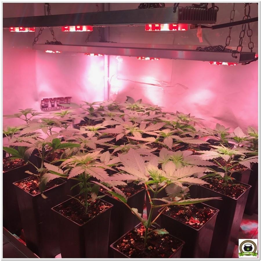 """5-Seguimiento marihuana LEC """"Criti-13"""": Trasplanto y cambio de armario-2"""