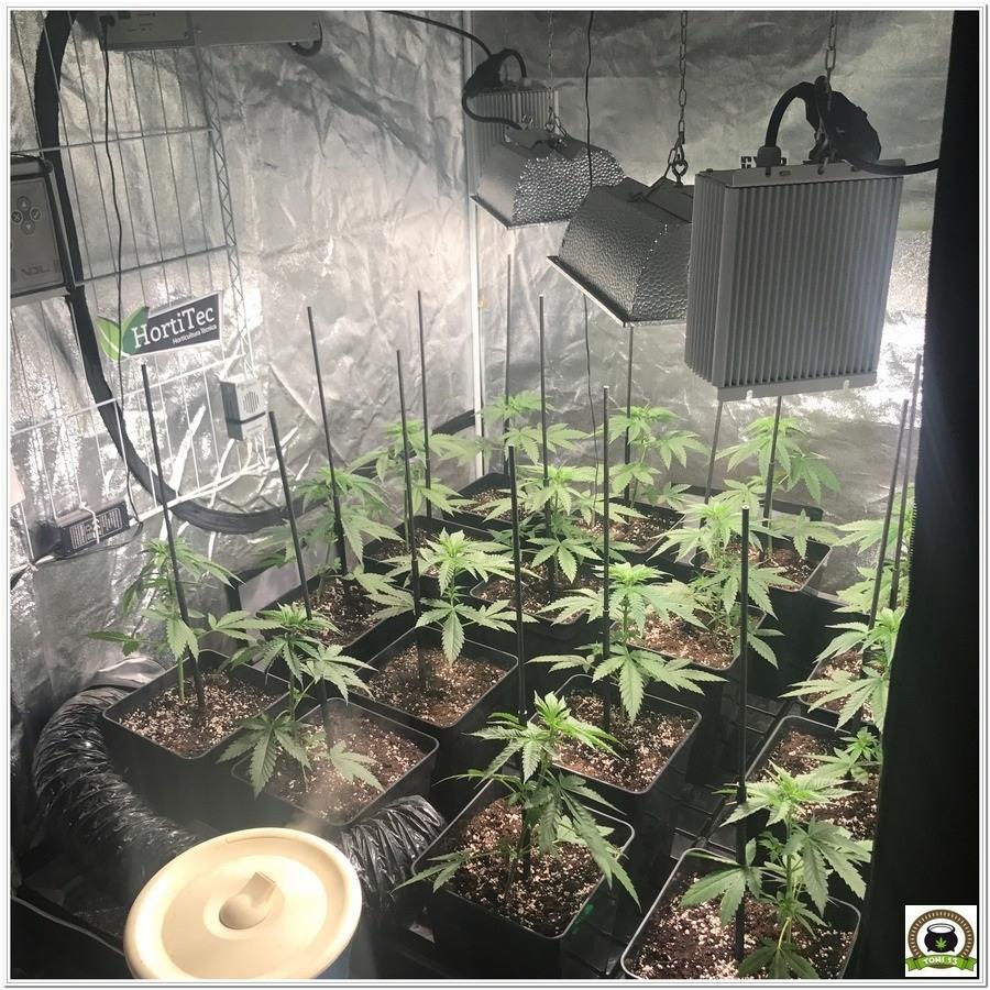 moldeo lumínico del cultivo de marihuana 2