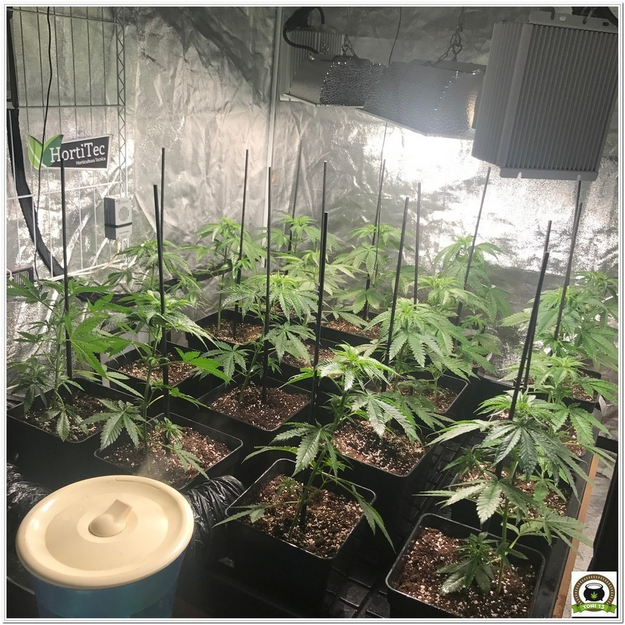 8- Seguimiento marihuana LEC Criti-13: 28 días de crecimiento de las plantas de cannabis
