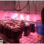 4- Seguimiento marihuana LEC Criti-13:  Se amplia la zona de cultivo