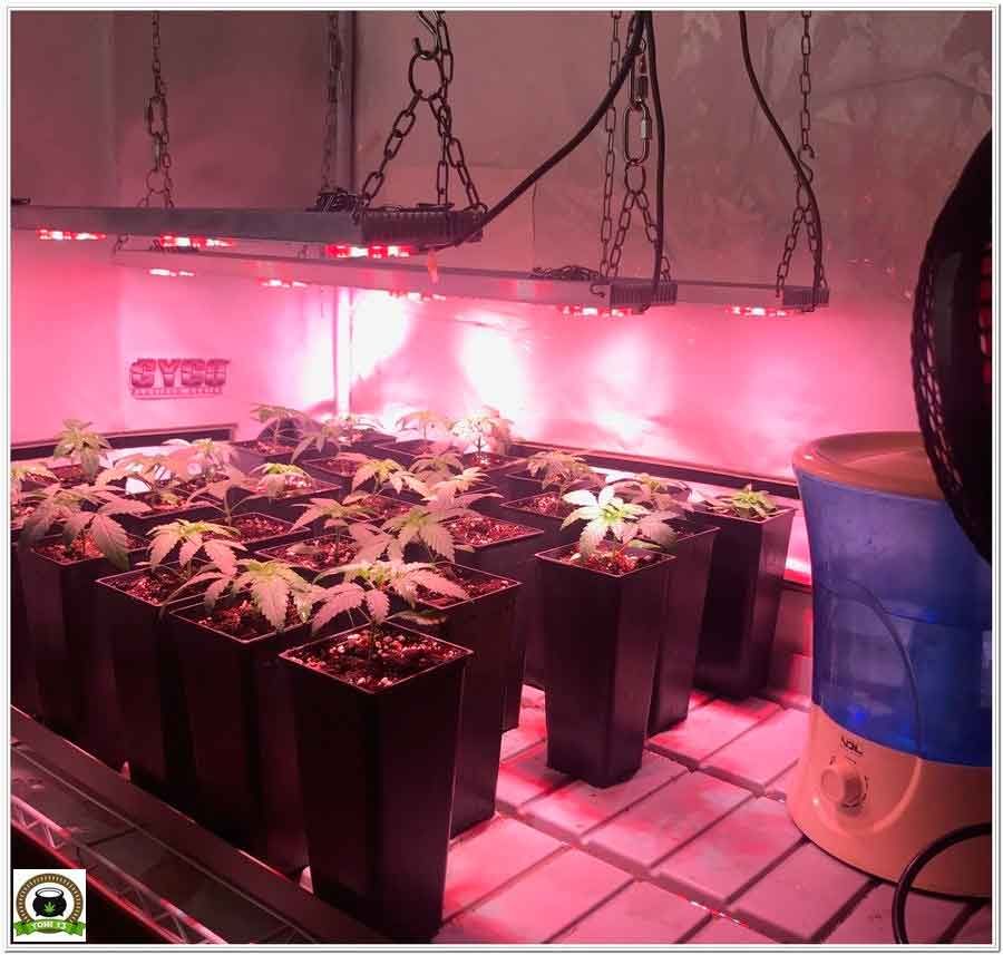 se amplia la zona de cultivo de marihuana