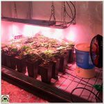 5- Seguimiento marihuana LEC Criti-13: Trasplanto y cambio de armario