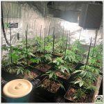 8- Seguimiento marihuana LEC Criti-13: 28 días de crecimiento de las plantas