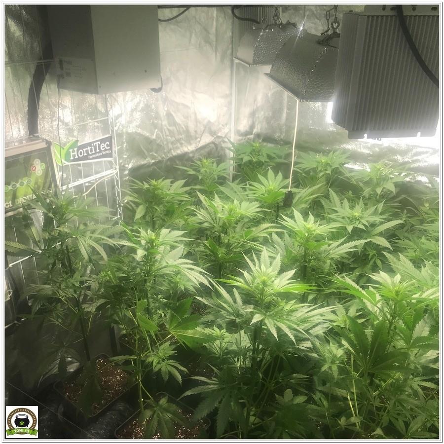"12-Seguimiento marihuana LEC ""Criti-13"": Primeros 17 días de floración-5"