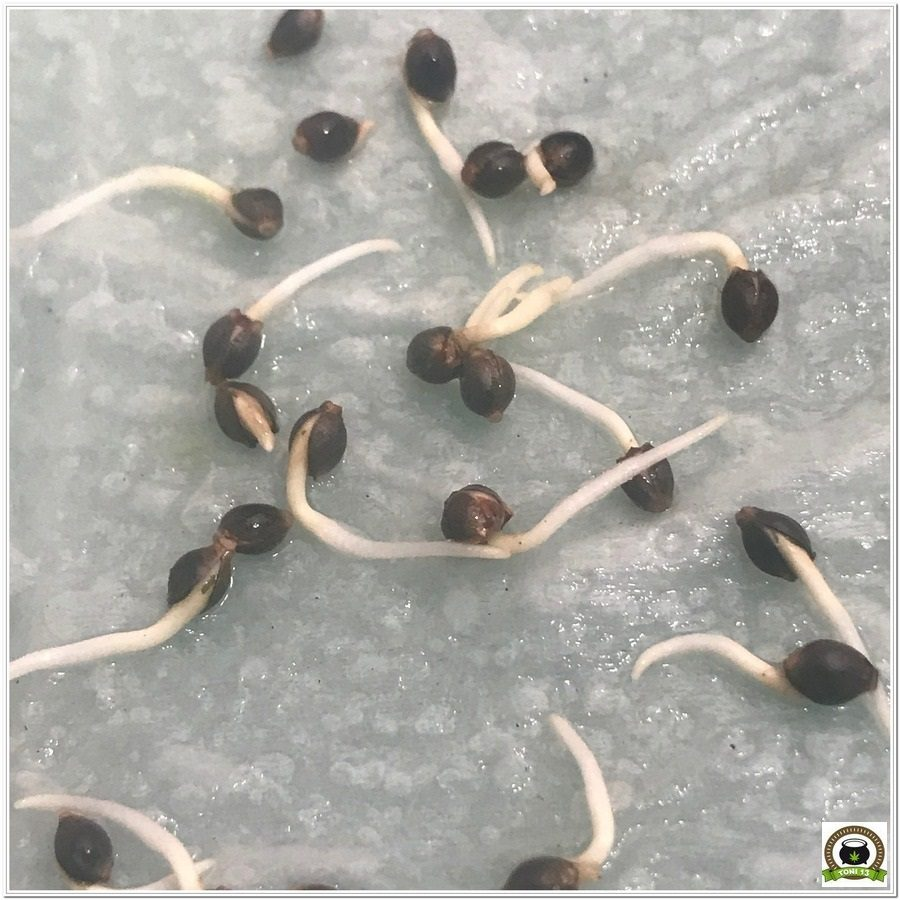 2- Cultivo marihuana medicinal germinación y selección de las semillas 3