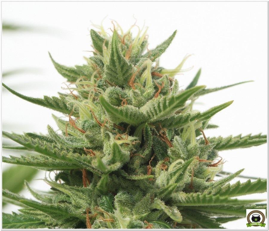 Variedad de marihuana Chizpa del banco de semillas Positronics 1